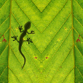 Chameleon silhouette on the bright green leaf by Ciddi Biri - Nature Up Close Leaves & Grasses ( carbon emission, ecologic, ecosystem, shadow, leaf wallpaper, green leaf, pattern, green wallpaper, reptilan, leaf pattern, ecology, nature wallpaper, photosynthesis, leaf macro, high resolution wallpaper, leaf background, oxygen, lizard, green, chameleon, wallpaper, nature, texture, leaf, nature background, background, plant, silhouette, animal, leaf texture, nature pattern )