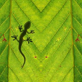 Chameleon silhouette on the bright green leaf by Ciddi Biri - Nature Up Close Leaves & Grasses ( carbon emission, ecologic, ecosystem, shadow, leaf wallpaper, green leaf, pattern, green wallpaper, reptilan, leaf pattern, ecology, nature wallpaper, photosynthesis, leaf macro, high resolution wallpaper, leaf background, oxygen, lizard, green, chameleon, wallpaper, nature, texture, leaf, nature background, background, plant, silhouette, animal, leaf texture, nature pattern )