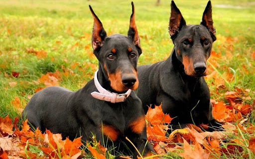 Doberman Dog HD Live Wallpaper