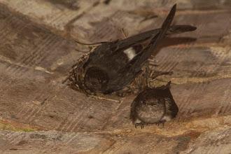Photo: Our old friends, the Bohm's spinetail pair breeding in the well; Os nossos velhos amigos, o casal de rabos-espinhosos nidificando no poço.