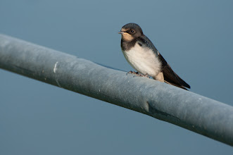 Photo: Barn Swallow, juv. (Rauchschwalbe); Langeoog, DE