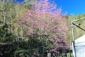 Photo: 拍攝地點: 梅峰-一平臺 拍攝植物: 櫻花 拍攝日期:2012_03_05_Yah