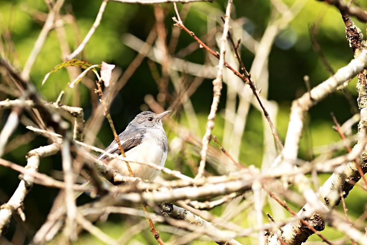 Oriental Magpie Robin (鵲鴝, 豬屎渣)