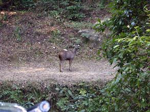 Photo: A young sambar deer