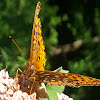 Great Spangled Fritillary?