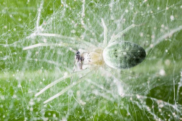 Ragno che mangia una mosca di Dario Lo Presti