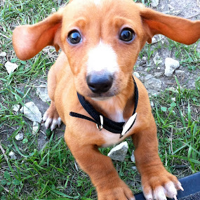Cooper by Jessica Simmons - Animals - Dogs Puppies ( dachshund, doxie, ears, puppy, brown hair,  )