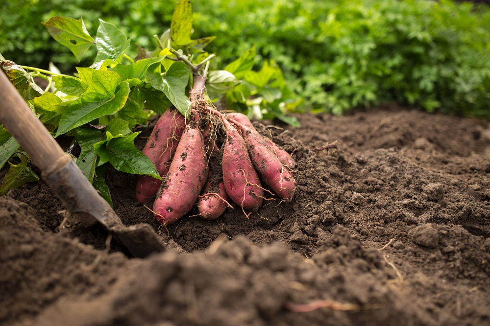 Sweet potatoes a boon to Kenyan farmers
