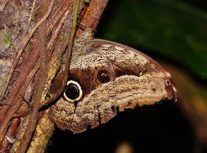 Photo: Bananenfalter (Caligula idomeneus. enlg. Owl Butterfly). Der Falter setzt sich gerne an Bäume. Fotografiert im Nebelwald bei Papallacta auf 3250 m NN.