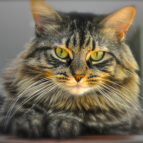 Staring Me Down by Susan D'Angelo - Animals - Cats Portraits ( cat, maine coon, whiskers, striped, eyes,  )