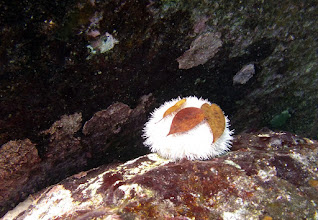 Photo: Lytechinus variegatus on boulder