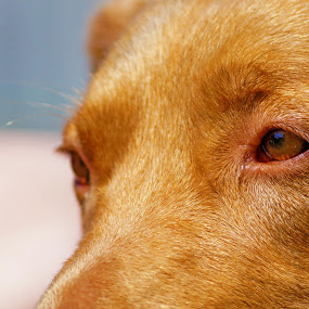 Far away by Aram Becker - Animals - Dogs Portraits ( look, far, brown, dog, eyes )