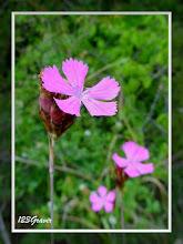 Photo: Œillet des Chartreux, Dianthus carthusianorum