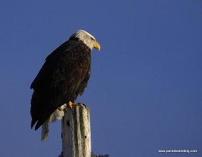 Photo: Bald Eagle, Homer Spit