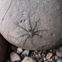 Unknown Fishing spider
