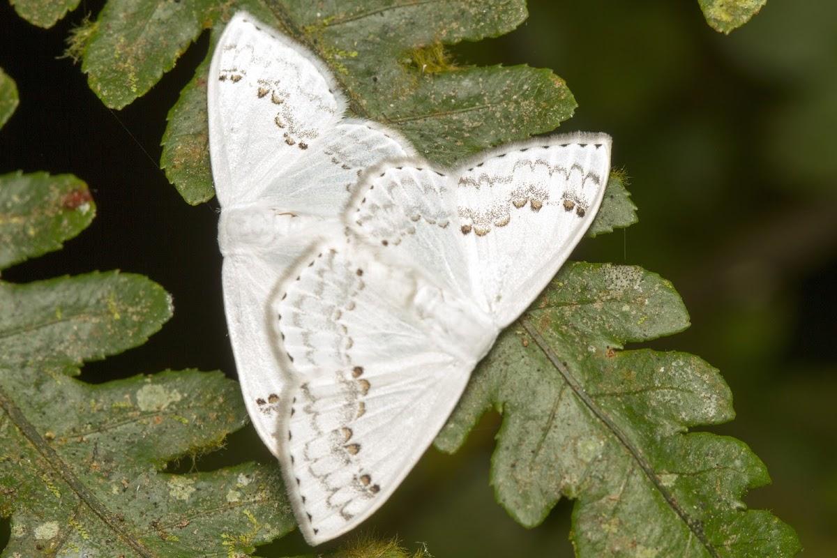 Drepanid Moths