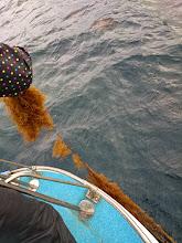 Photo: ・・・「流れ藻」キャッチ。