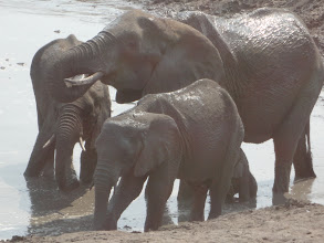 Photo: Huge elephant, two medium sized, and a baby hiding under the huge one