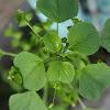 Tree - seeded Mercury