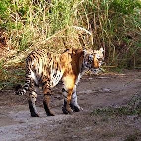 tiger by Arun Baweja - Animals Lions, Tigers & Big Cats