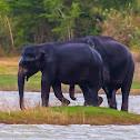 Sri Lankan elephant (2 adult males together - rare)