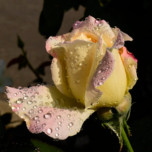 New flowers with water drops 242.JPG
