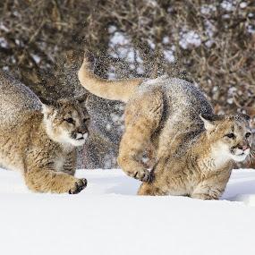 by Brandi Nichols - Animals Lions, Tigers & Big Cats ( big cat, lion, cat, cougar, mt. lion, montana, mountain lion, feline,  )
