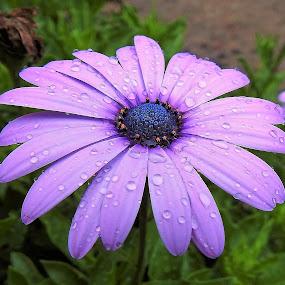 Purple rains by Sue Delia - Flowers Single Flower ( purple, daisy, rain drops, flower,  )