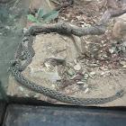 Lance-headed Rattlesnake