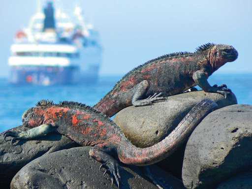 "Two marine iguanas on the Galápagos Islands. Charles Darwin once described them as ""hideous looking."" Harsh!"