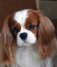 "Photo: Cavalier King Charles Spaniel ""Cash"""