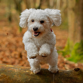 Bichon jumping by Jenny Trigg - Animals - Dogs Running ( bichon, jumping, bichon frise, woodland, puppy, dog, log,  )