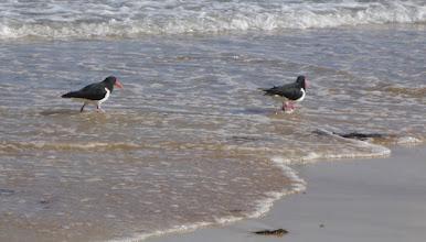 Photo: Pied Oystercatchers...