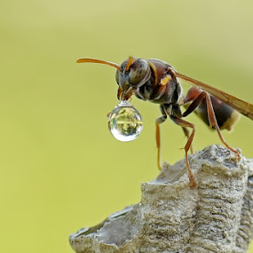 My Ballon by Balox Berhati Nyaman - Uncategorized All Uncategorized ( macro, wasp, nature, drop, wildlife, insect, close up, animal )