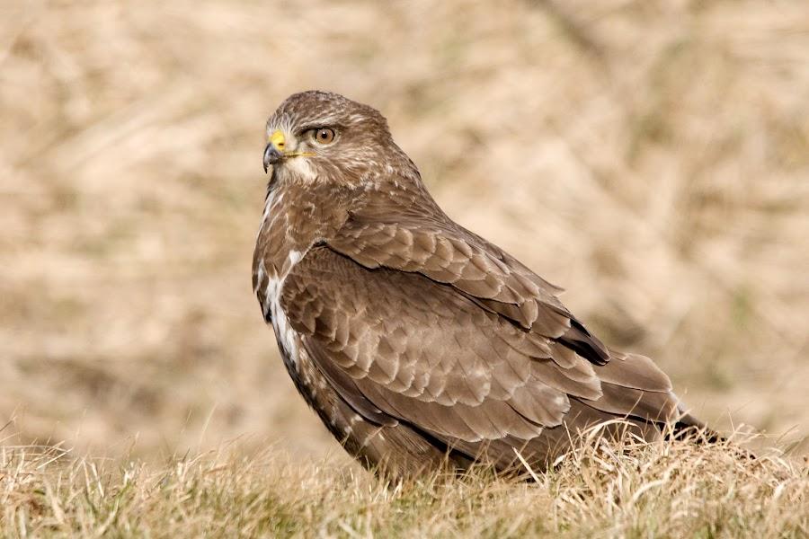 Buzzard by Fred van Maurik - Animals Birds ( sigma, buzzard, nikon )