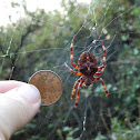 Angular orb-weaving spider