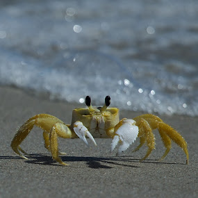 Crab3 by Jack Goras - Animals Sea Creatures ( crab )