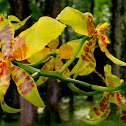 Queen Orchid