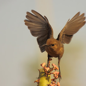 Brown Rock Chat  by Dr. Mahendra singh Rathore - Animals Birds