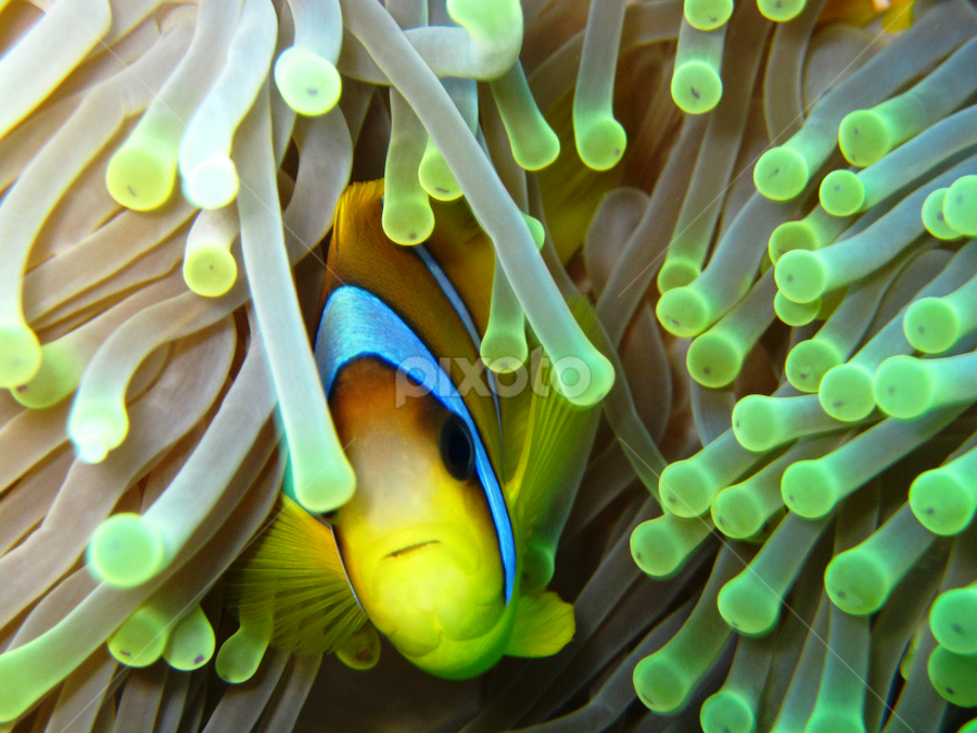 Clownfish - Saint John Reef by Fabio Ferraro - Animals Fish ( saint john reef, fish, diving, clownfish, anemones )