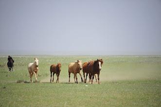 Photo: Chevaux mongols. S'il est un pays qui représente la liberté pour les chevaux, c'est bien la Mongolie. Ceux-ci sont dressés, habitués à être montés dès leur plus jeune age, mais en dehors des périodes de monte on les laisse aller à leur guise, en famille. S
