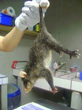 Photo: Four eye opossum (Philander opossum) male baby. MF2012-06-023