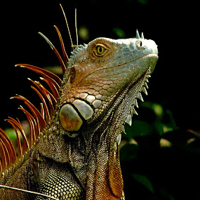 Iguana by Lyn Simuns - Animals Reptiles ( iguana, nature, costa rica, reptile, lizard,  )