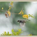 Saxicola ferret 灰林䳭