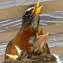 American Robin (mom and babies)