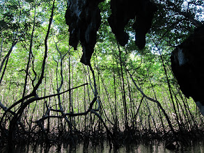 Photo: Healthy mangrove swamp