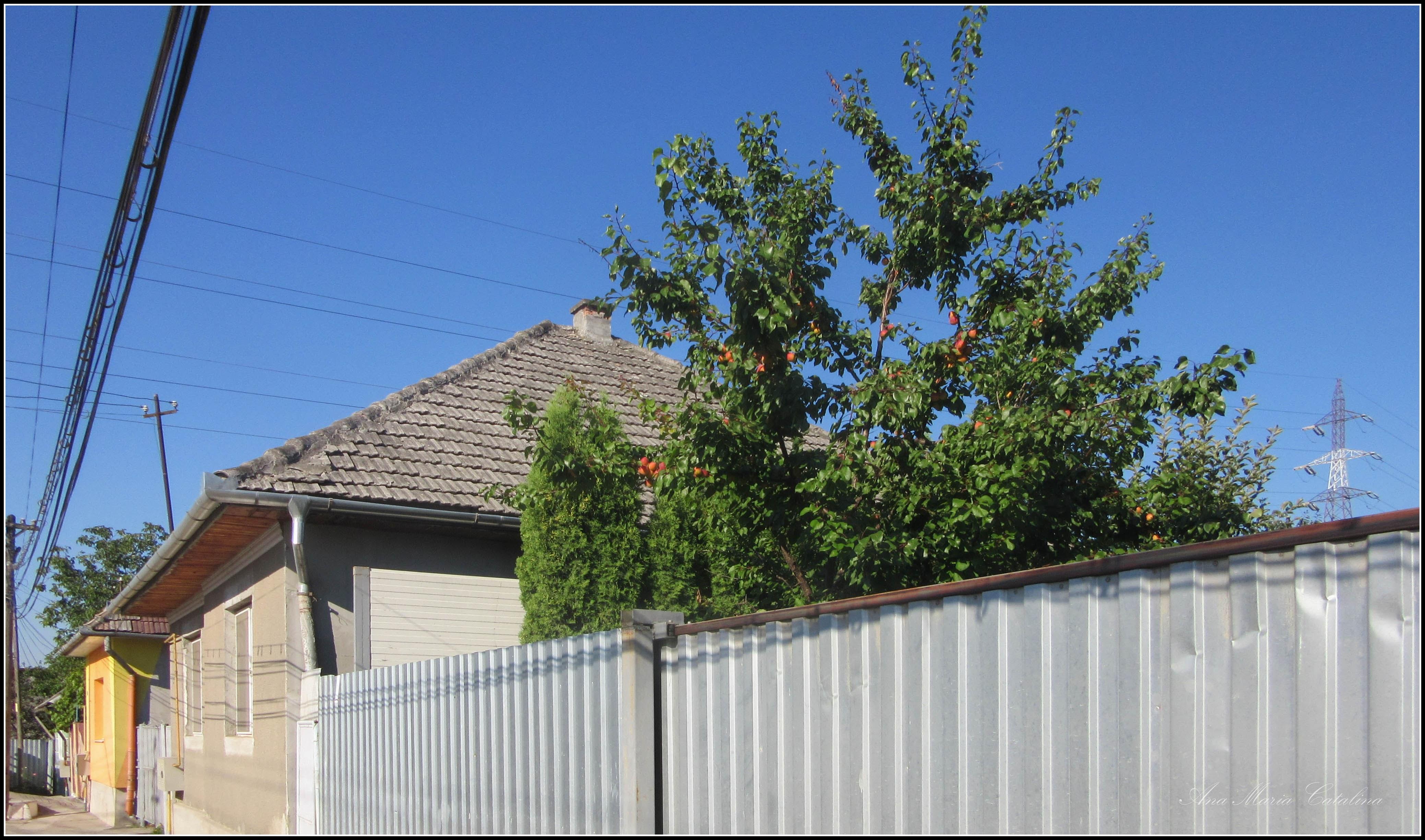 Photo: - Cais (Prunus armeniaca)  - de pe Str. Miron Costin - 2017.07.18