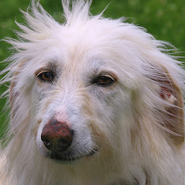Flo by Chrissie Barrow - Animals - Dogs Portraits ( long haired, portrait, cream, eyes, fluffy, female, pet, ears, fur, saluki/irish wolfhound, dog, elderly, nose, coat, sable,  )