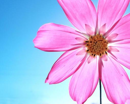 免費下載個人化APP|Kosmeya花の壁紙 app開箱文|APP開箱王