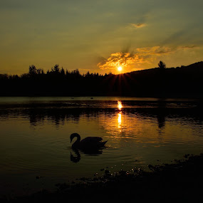 swan lake by Billy Kennedy - Landscapes Sunsets & Sunrises ( water, sunset, trees, swan )